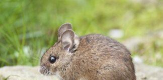 Pułapki na myszy